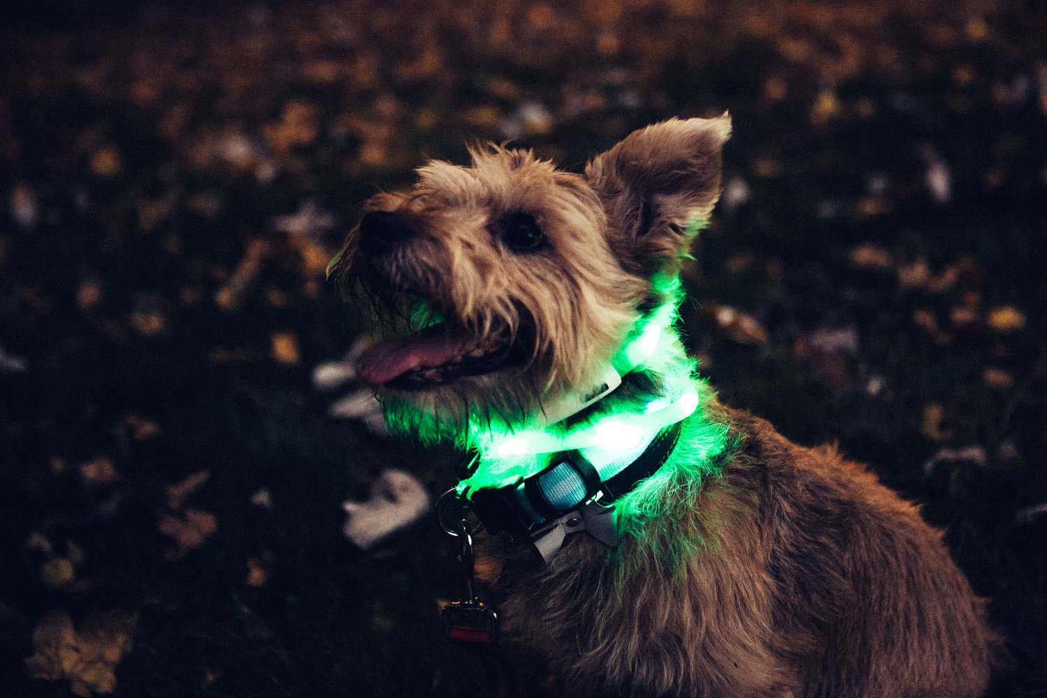 Disco Harry sporting both collars, the LED collar being wrapped around twice.