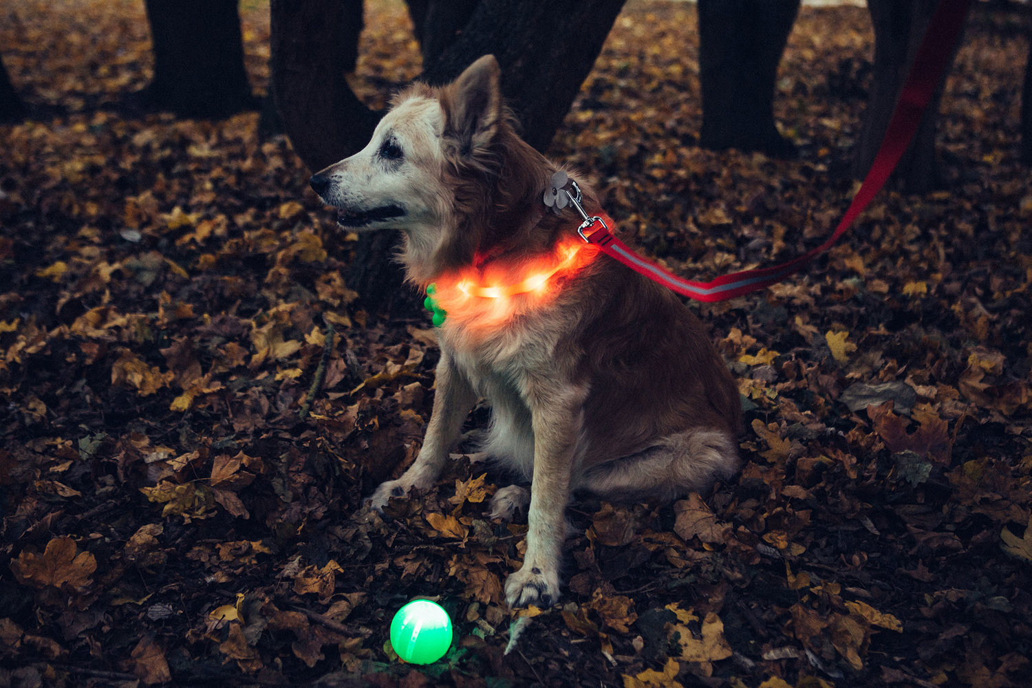 Canine editor Pippa wears the LED collar and the green blinking bone, and her normal collar is decorated with the Hiro+Wolf reflective flower. She ignores the LED ball.