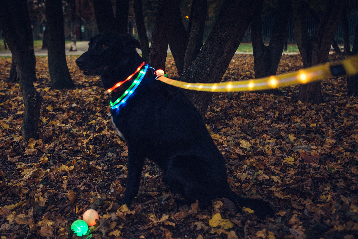 Sunny waits for his parents while dressed as a Christmas tree, sporting all our LED collars, the droplit and yellow lead.