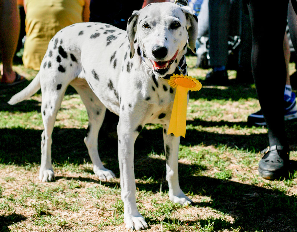 While all dogs were winners, this Dalmatian was particularly winning