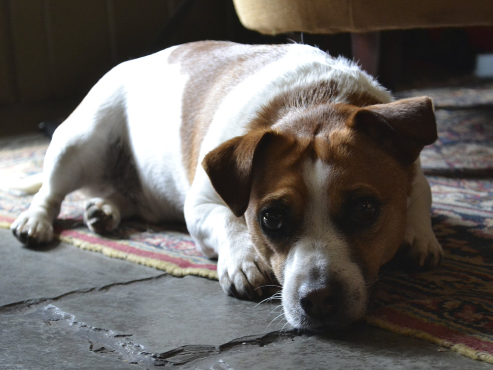 Spoof, the resident Jack Russell, will show you around The King's Arms