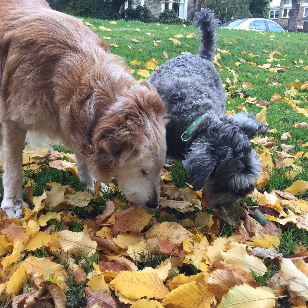 Wunderdog canine editor Pippa and friend Pearl found a fascinating leaf; Illustration at the top: Jenny Bignall