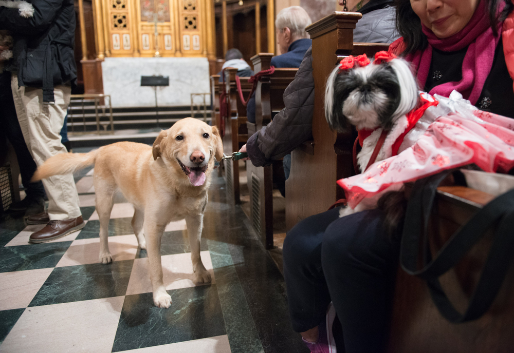 """""""We met in this church,"""" Dunkin, the golden Labrador, and Ming Ming, the Maltese, will be able to say when they are married here in the new year."""