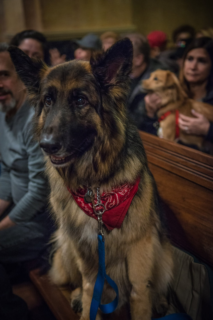 If Balto could talk, the stories! The 10-year-old German shepherd is a retired police dog. He loved getting his incredibly soft ears rubbed by anyone who succumbed to his gentle smile. So everyone, basically.