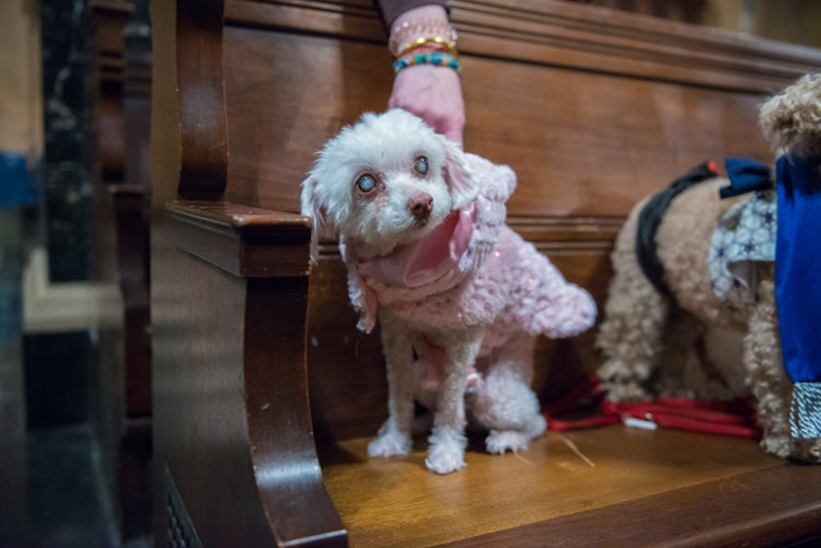 Another golden oldie, Madison, is a blind and deaf Maltese, who used to understand sign language before she lost her eyesight. She still made an effort and dressed in her pink sweater.