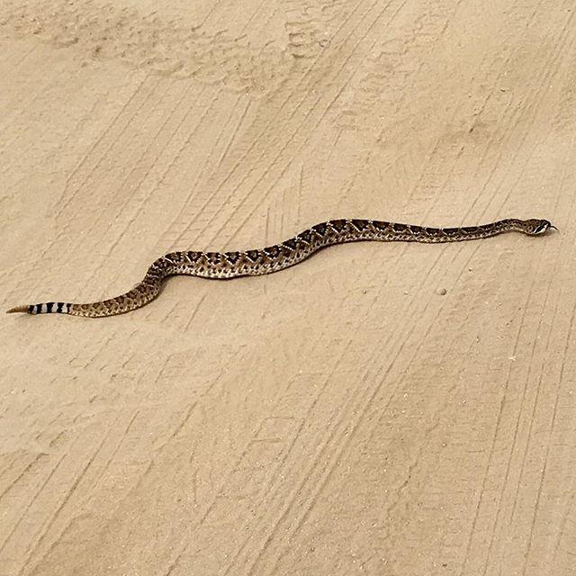 New tie??? #fishtiet #snaketie #snake #rattlesnake #desert #baja #mexico #imasnake #nature #diamond #diamondback #diamondbacks #bite #venom #nasty #honeybadger #honeybadgerdontgiveashit