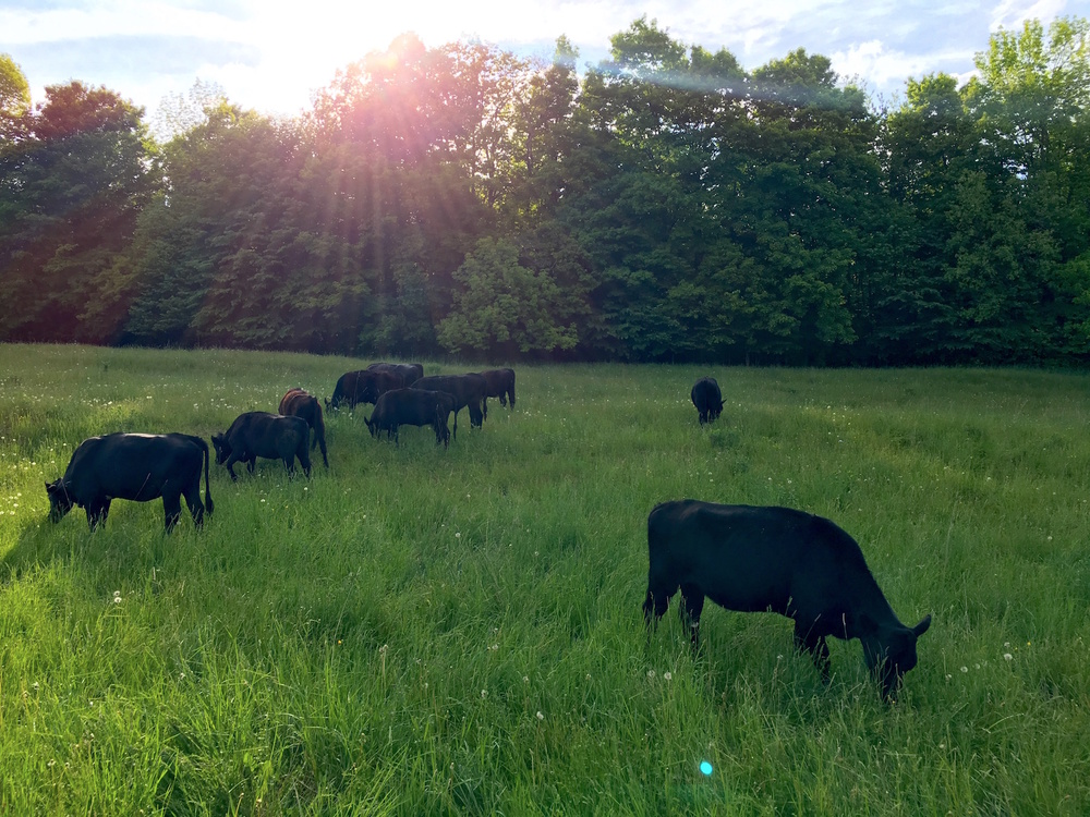 Grass Fed & Finished Beef   Information on Ordering, our CSA and Slaughter & Processing   Our Beef