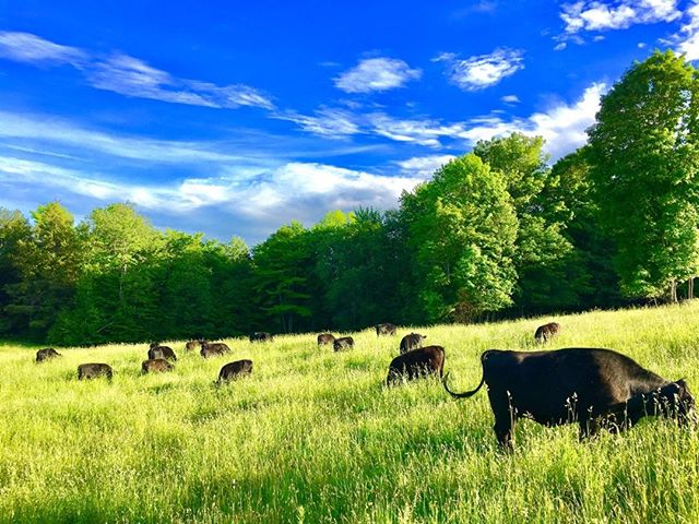 Part way through the 2nd rotation already!  #grass fed beef #adaptive multi-paddock grazing #holistic management #carbon farming #regenerative agriculture #vt agriculture #rotational grazing