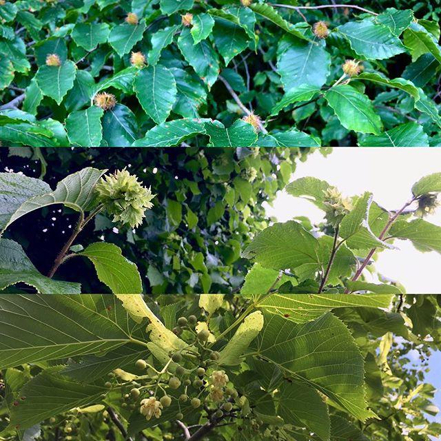 Woodland edge abundance!  From top to bottom: Beech nut bonanza / Hazelbert hallelujah/ Linden loveliness!  #regenerativeagriculture #wildedibles #vermontfarms #wildmedicine #herbalmedicine #maplecorner #centralvermont #permaculture