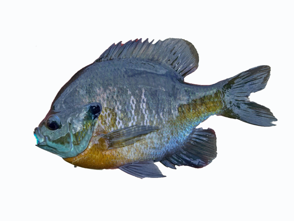 bluegill_fishing.png