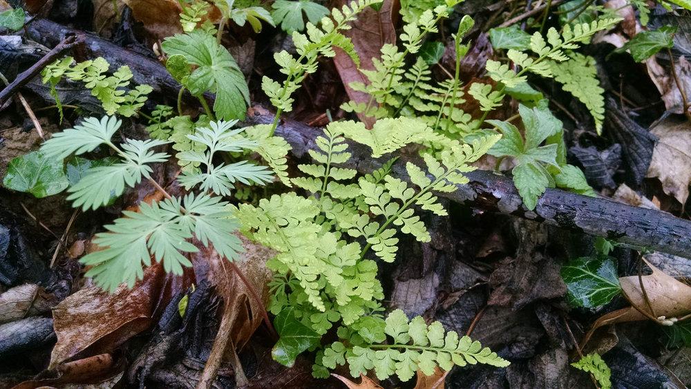 ferns from the gulch.jpg