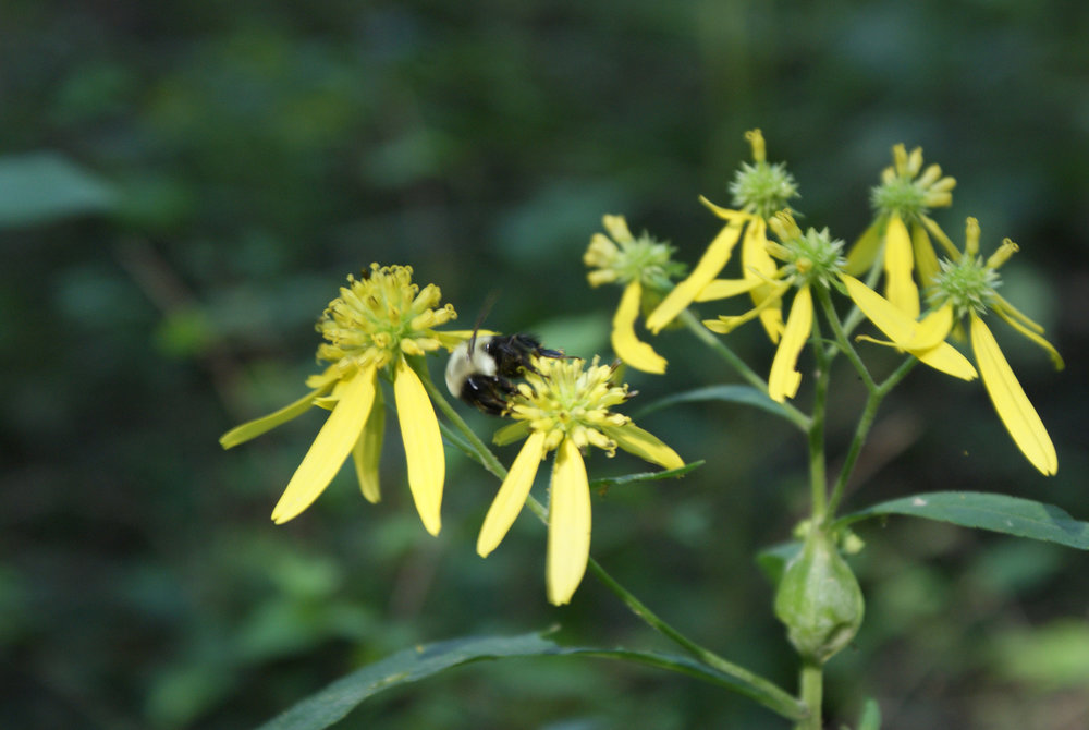 heliopsis and Bumble.jpg