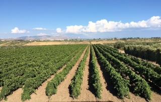 Tenuta dei Mille Vineyard