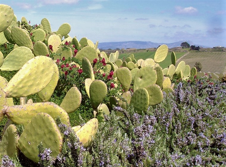 Pickley Pear Cactus-Menfi Sicily