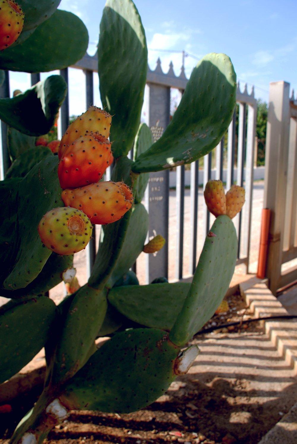 Tenuta dei Mille -Prickey Pear Fruit