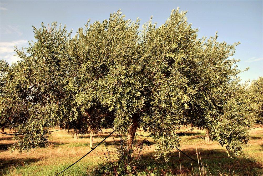 TENUTA DEI MILLE olive grove 025.JPG