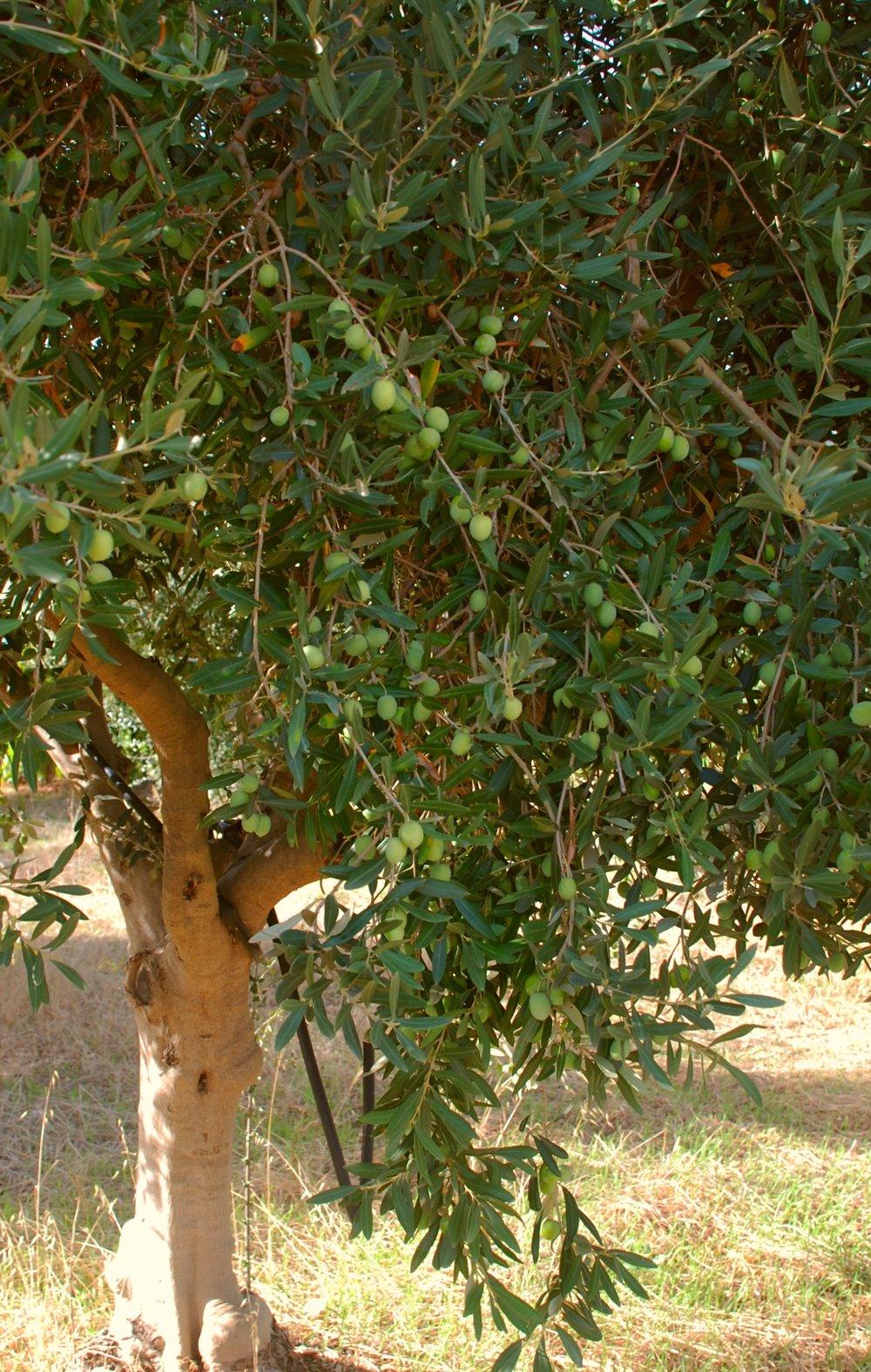 TENUTA DEI MILLE olive trees 030.JPG
