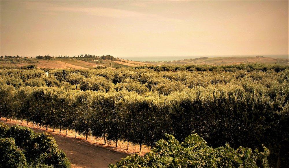 TENUTA DEI MILLE olive grove right side of estate 001.JPG