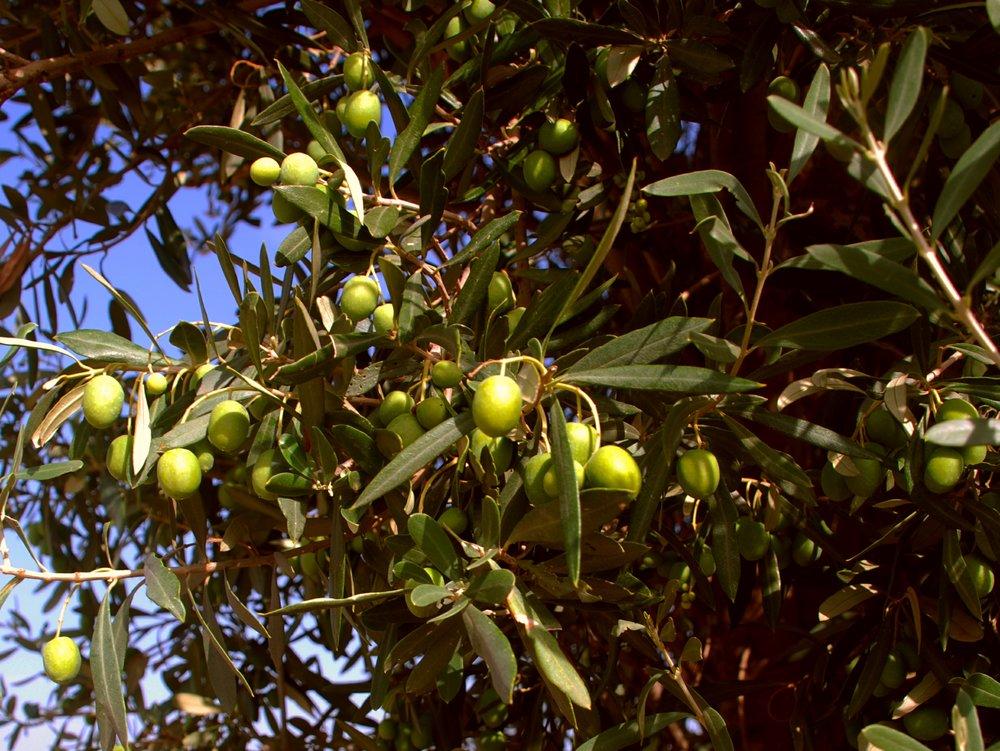 TENUTA DEI MILLE olives not ready to harvest 010.JPG