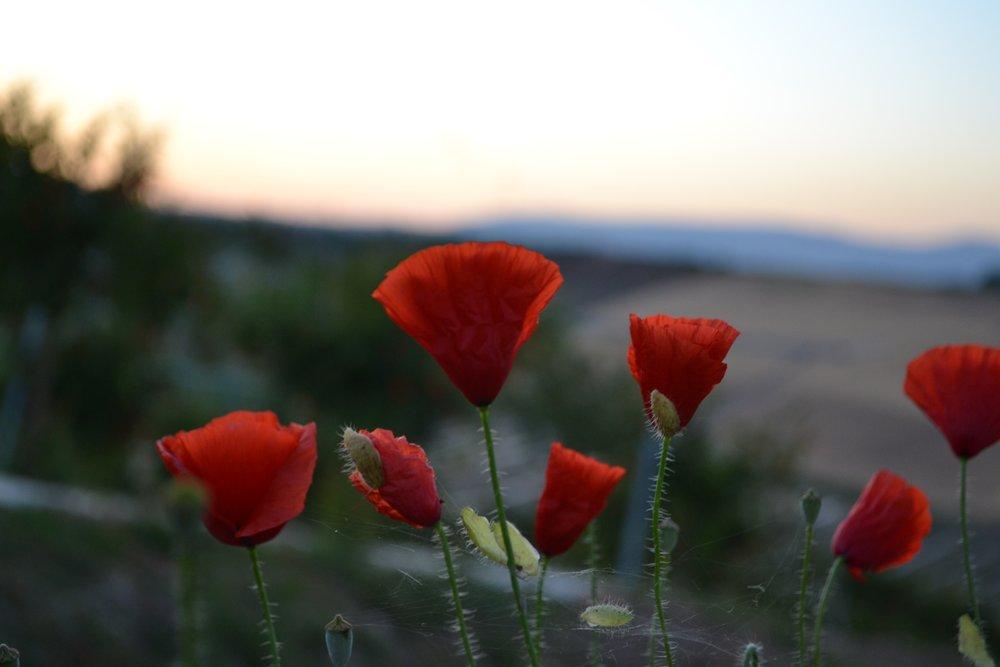Tenuta dei Mille- Poppie flowers