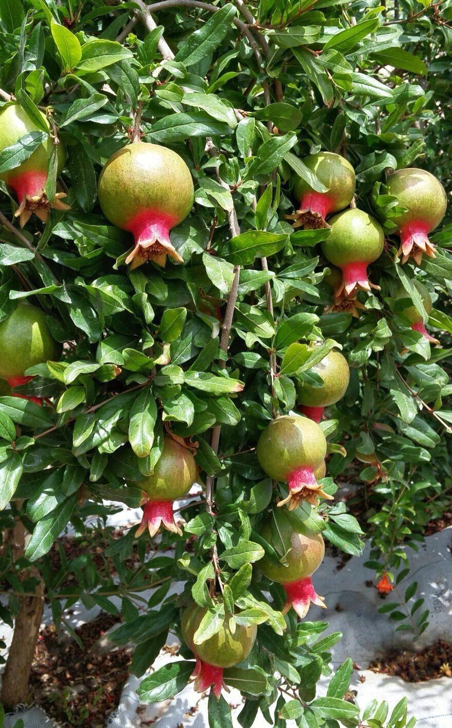 Tenuta Dei Mille -pomegranites