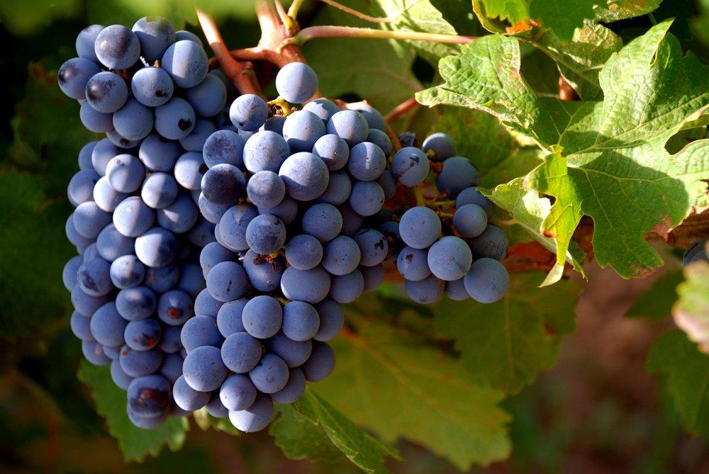 Tenuta Dei Mille-Cabernet Sauvignon grapes