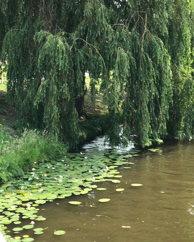 Leiden, Netherlands- Weeping Willow trees, and Lilly pods create a beautiful gardens scene. #nature #landscape #photography #organic #love