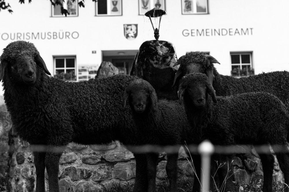 Community Office Sheep.jpg