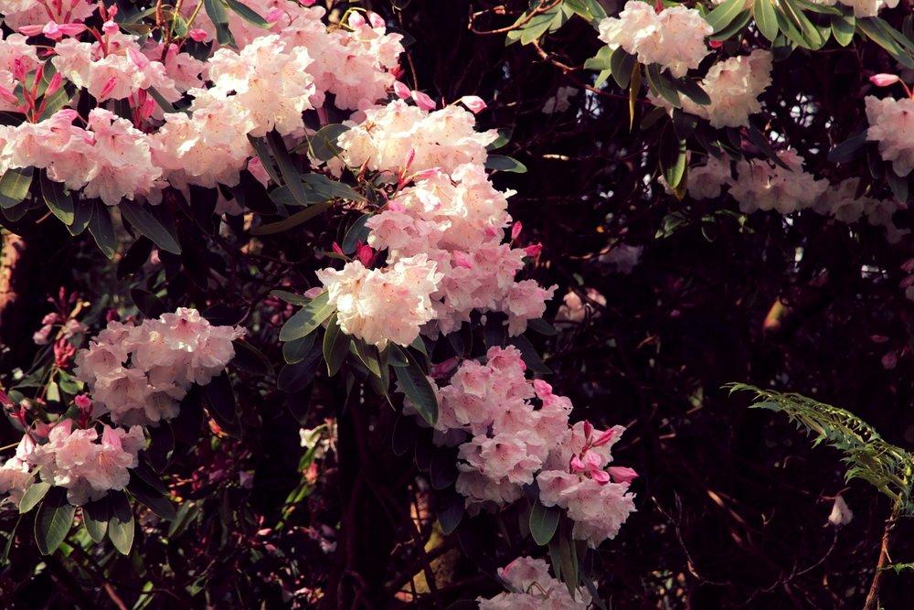 Rhododendron garden.