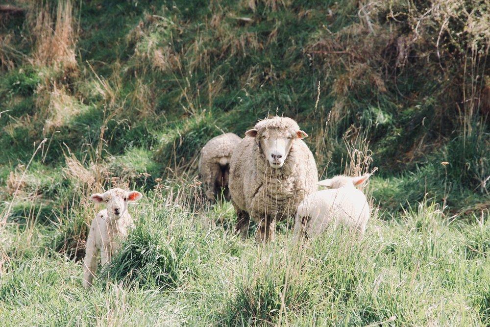 Lambs running free it the vineyard