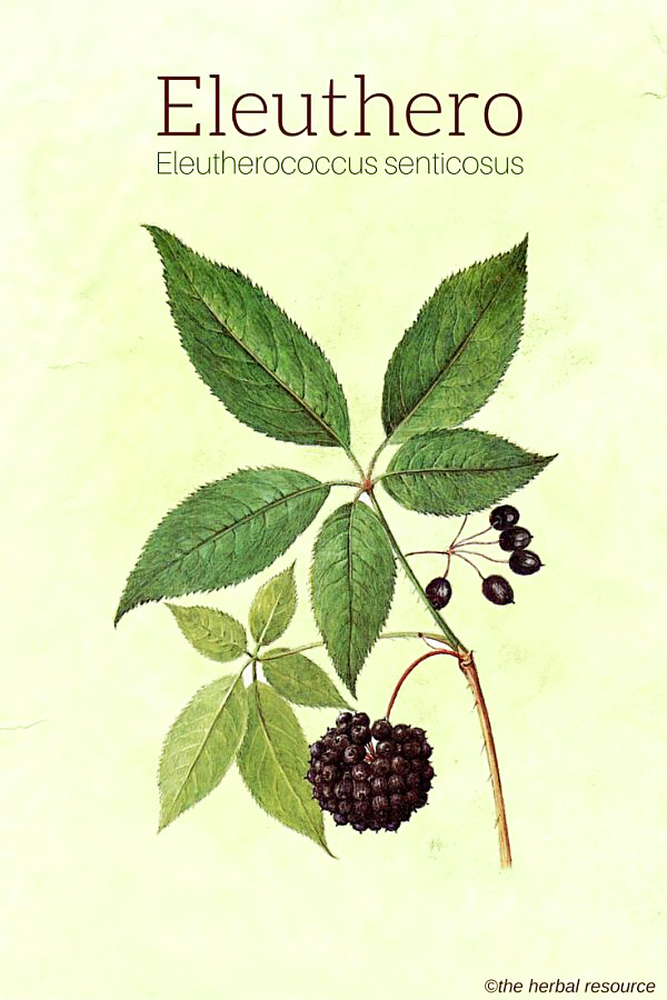 eleuthero-herb-img.jpg