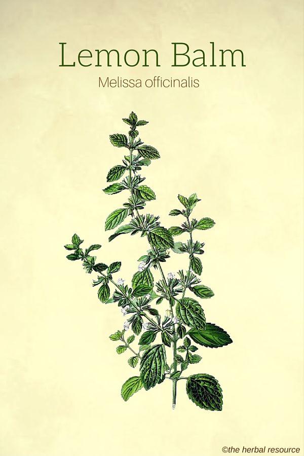 lemon-balm-herb-img.jpg
