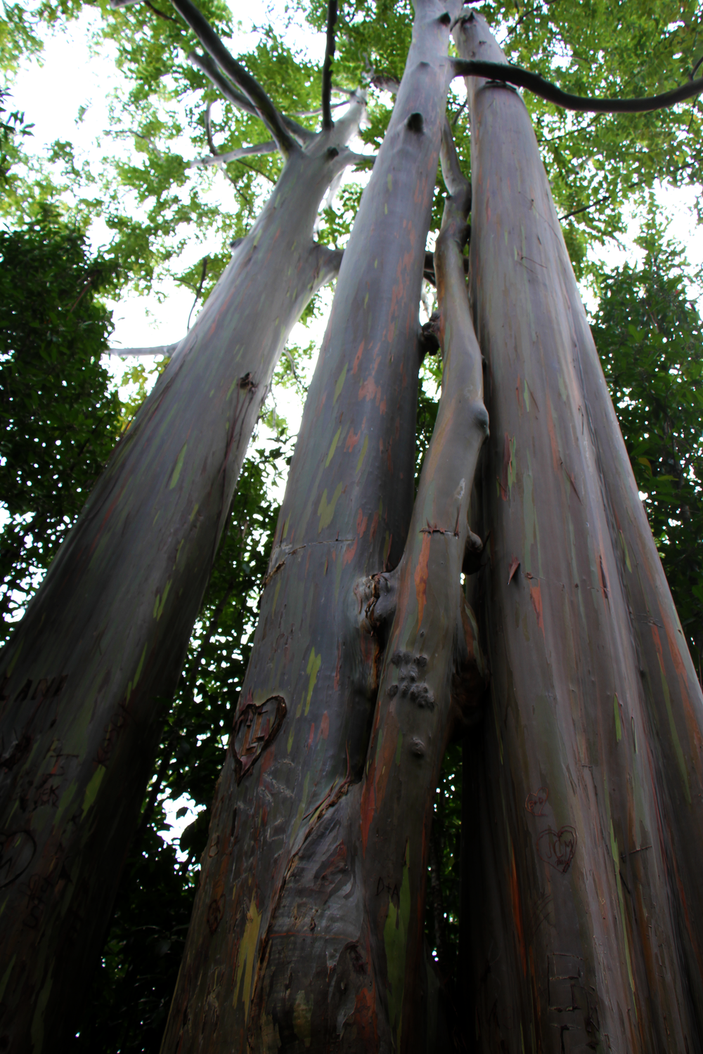 Road to Hana- Rainbow Eucalyptus