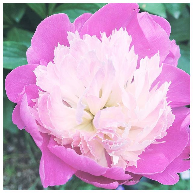 Just a little something to brighten your day. How can you not 💜💜💜 peony season? 🌸🌺🌼