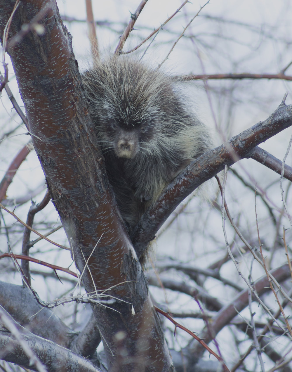 I'm pretty sure this porcupine is giving me the death glare.