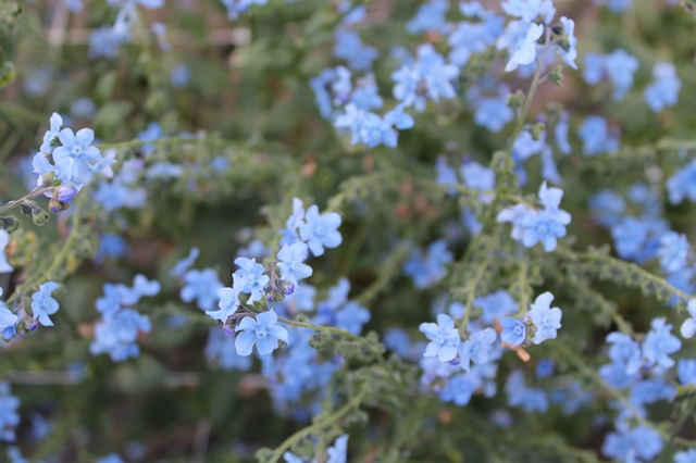 Cynoglossum - Chinese Forget Me Not.JPG