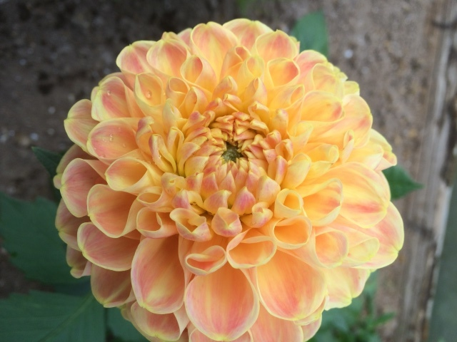 Dahlia-Chriton Honey.JPG