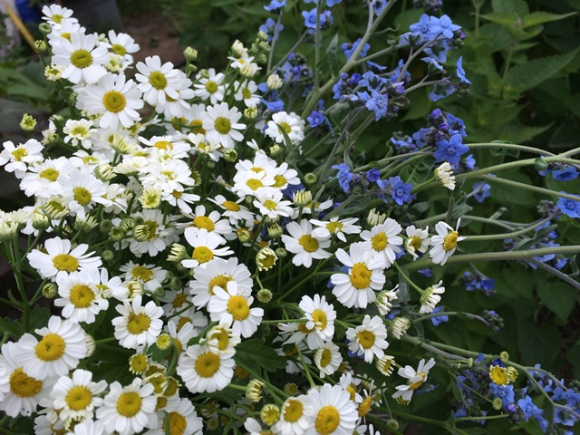 feverfew and cynoglossum.JPG