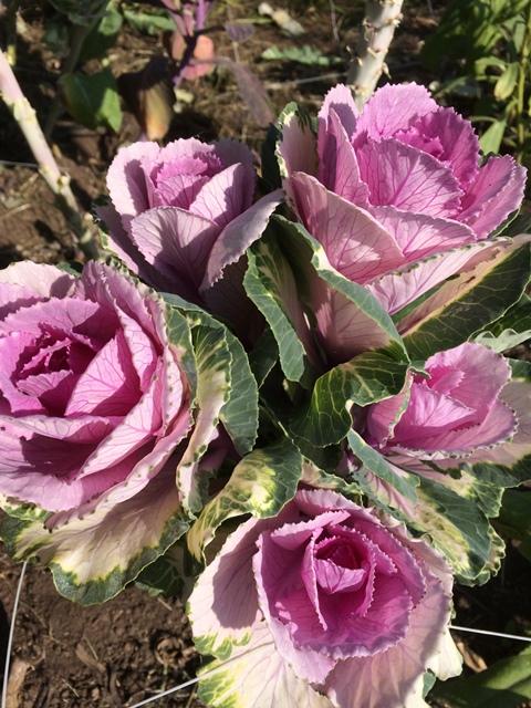 flowering kale (2).JPG