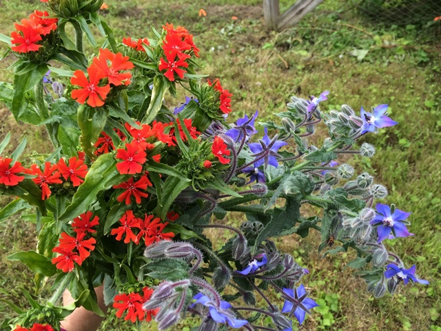 lychnis and borage.JPG