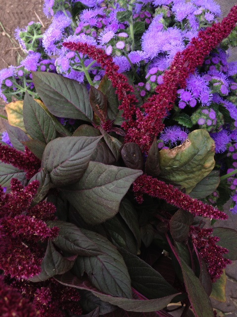opopeo amaranth and ageratum.JPG