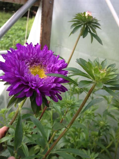 purple aster.JPG