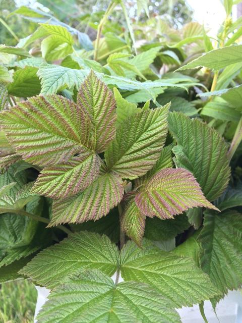 raspberry greens.JPG