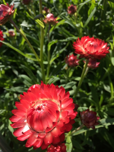 strawflower red.JPG