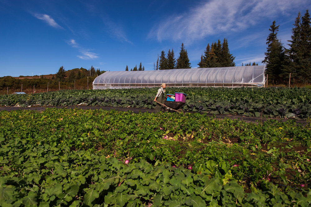 'Little Emily' works at Emily Garrity's Twitter Creek Garden. Photo by K.Boone for the Kenai Peninsula Food Hub.