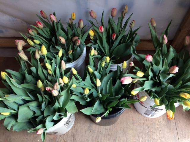 Tulips 4-21.JPG