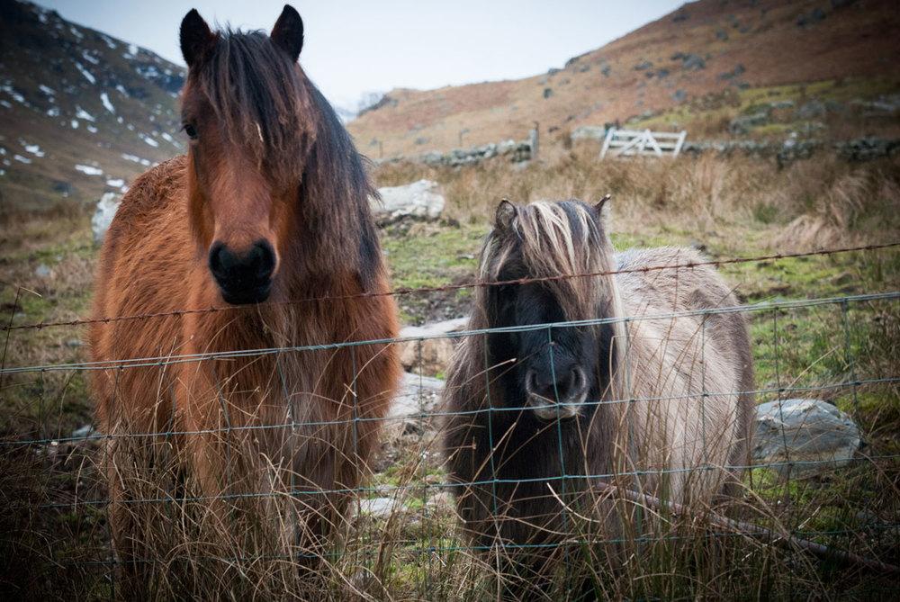 Highland-ponies-Wild-life.jpg