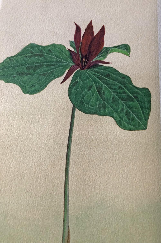 24 wildflower paintings by Herbert Dengler
