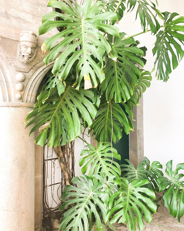 May your Monday be as major as these monstera leaves 👏🏻 (say that 3X fast)  #jetsetxlisbon