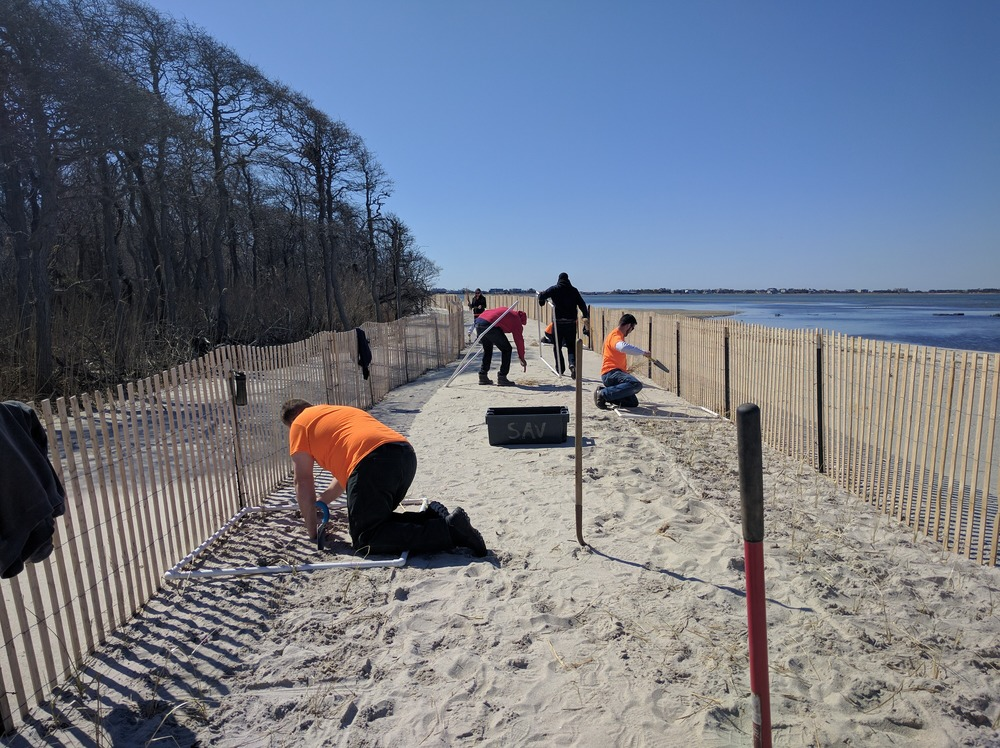 Beach Grass Planting